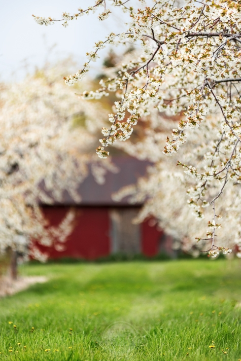 Sweet cherry blossoms frame a red barn