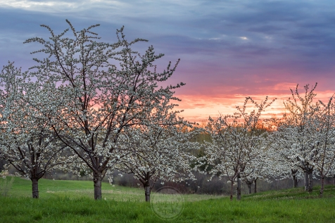 Sunset hovers over a Leelanau cherry orchard