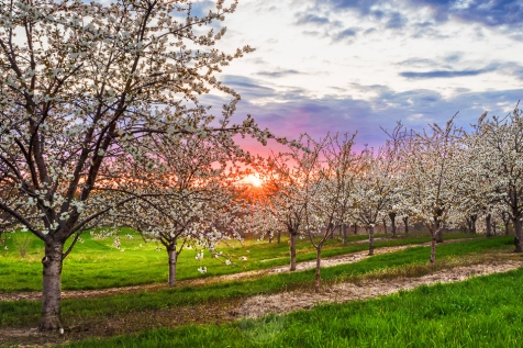 Rows of cherry trees in bloom under a lavender sunset sky
