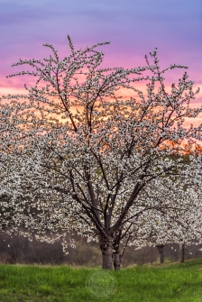 A cherry tree covered in blossoms