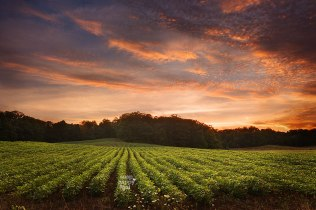 A warm sunset plays over rows of soy beans in Michigan's Leelanau County