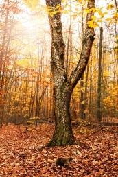 fall-birch-bark-single-tree-10151154