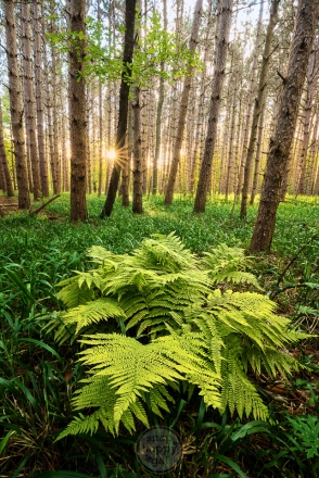 A fern grows in a grass-carpeted pine stand
