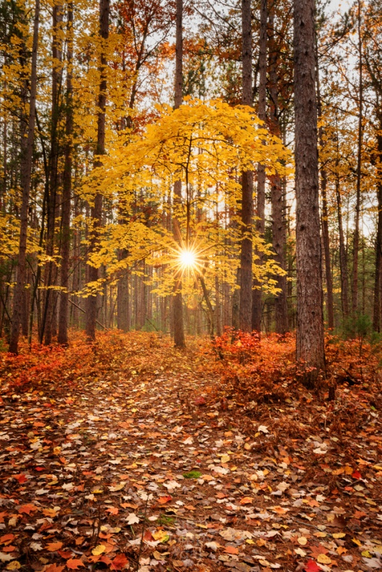 The sun bursts through a single yellow maple tree set amid a forest of pines