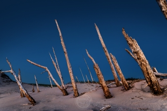 The last light of the day highlights the stark lines of a ghost forest against the navy night sky