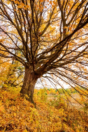 An old, full maple spreads its branches on a fall hillside