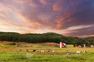 Leelanau County dairy cows graze happily below a red barn in a pasture at sunset