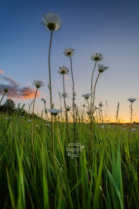Photo: Low angle shot of daisies at sunset