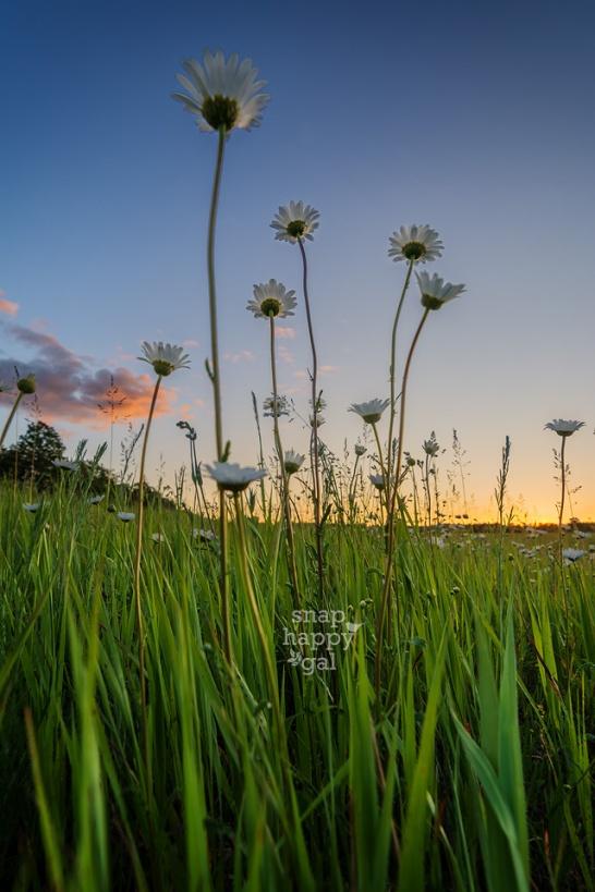 Photo: Low angle shot of daisies at sunset