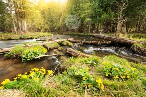 Photo: Marsh marigolds signal spring's arrival on the swift waters of Michigan's Rapid River