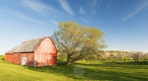 Photo: A red barn sits near a Michigan cherry orchard in bloom