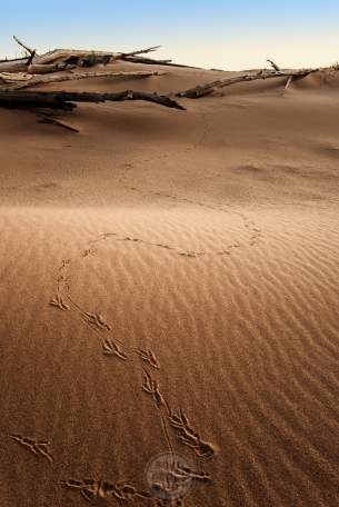A single bird's footprints through the textured sands of the Sleeping Bear Dunes