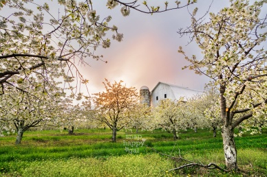 Photo: A sunset peeks out behind a white barn amidst blooming cherry blossoms