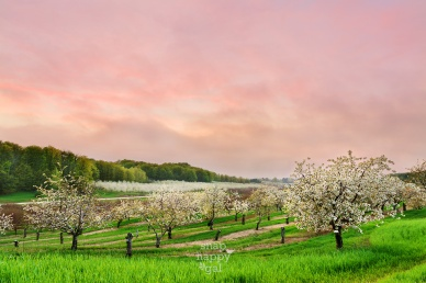 Photo: A pink sky lights up over a blossoming Leelanau County cherry orchard