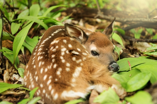 A sleeping fawn rests on tender spring greens in a northern Michigan forest