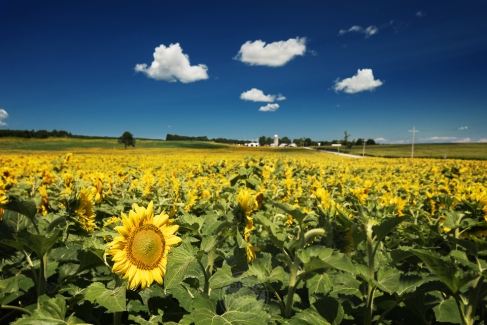 A true (University of) Michigan moment - golden sunflowers basking under a deep blue sky