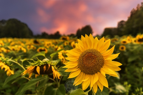 Sunflowers in a field nod their heads under a pink sunset
