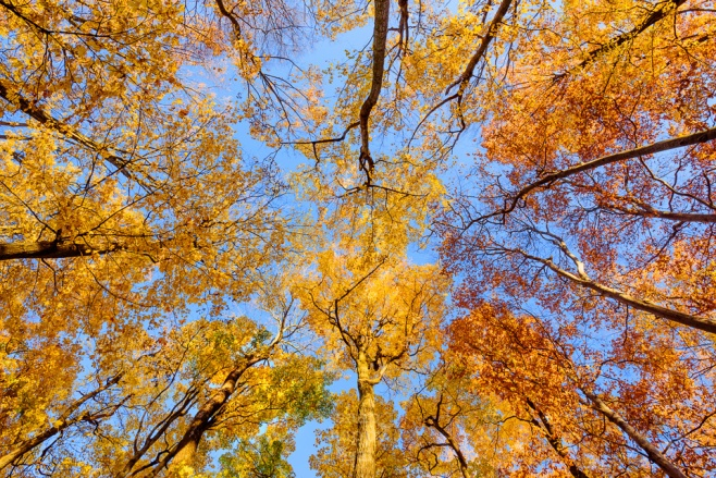 The colorful fall canopy, viewed from the ground