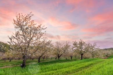 Photo: Sweet cherry orchard in bloom, Leelanau County, Michigan