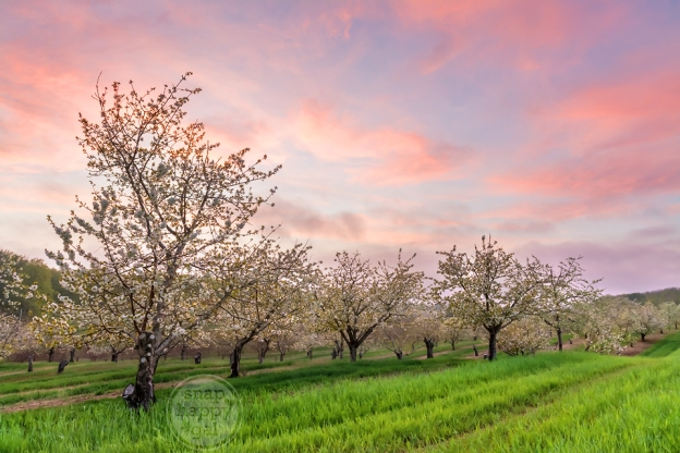Photo: Sweet cherry orchard in bloom, Leelanau County, Michigan
