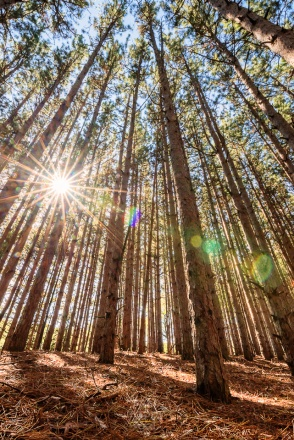 The sun bursts through a tall stand of white pines - a true northern Michigan classic