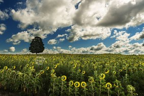 tree-sunflower-field-blue-sky-puffy-clouds-08163479