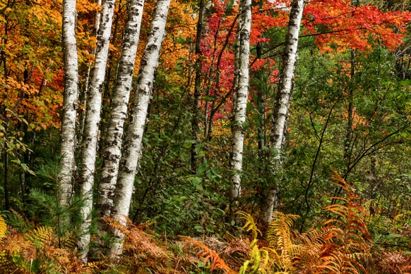 A white birch grouping stands in stark contrast to vibrant fall colors in surrounding foliage