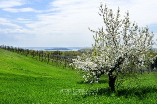 Photo: A green hillside and a blossoming fruit tree accentuate a view of Traverse City's Power Island