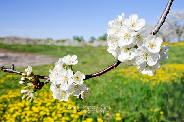 Photo: A closer view of a bunch of cherry blossoms on a single branch in front of the whole orchard