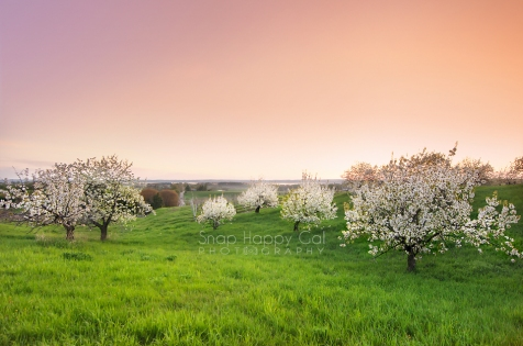 Photo: A sherbet-sunset lights up the post-rain sky over a blossoming cherry orchard