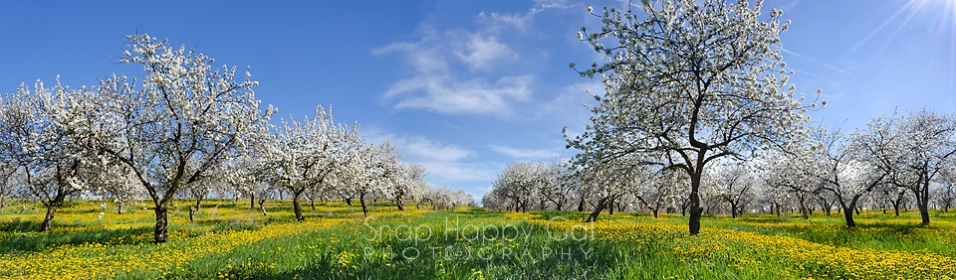 Photo: Cherry Orchard in Bloom - Panorama