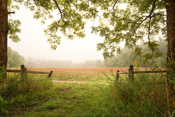 Photo: Locust trees mark the entrance to a foggy meadow