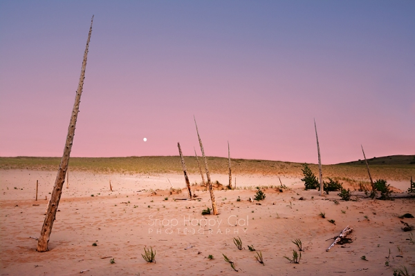 Photo: Ghost forest in the Sleeping Bear Dunes National Park