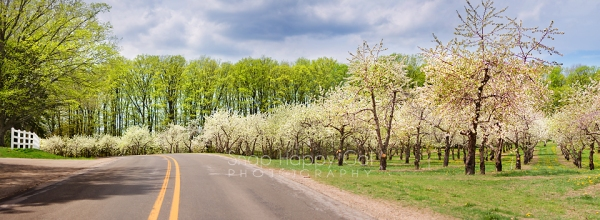 Photo: Cherry Blossoms on Old Mission Peninsula