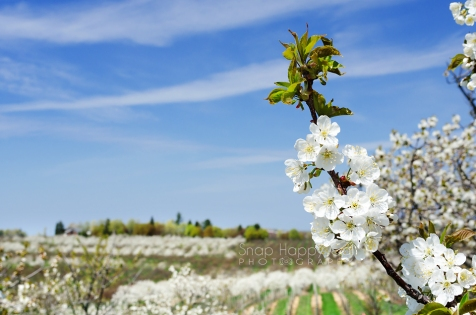 Photo: One cherry branch in front of the rows of a blossoming orchard and vineyards