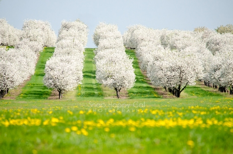 Photo: Cherry trees, full of blooms, resemble pillowy clouds - Leelanau County