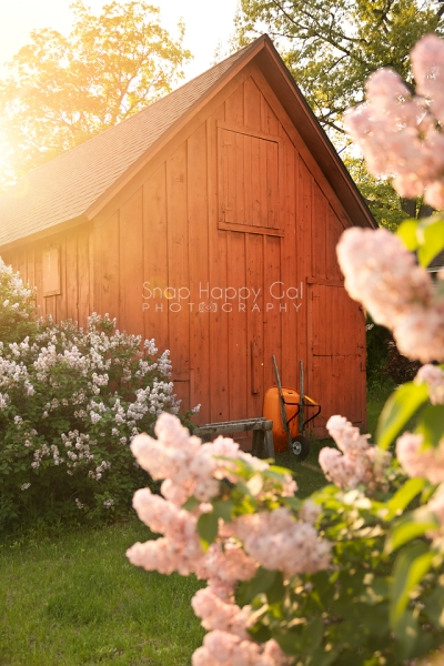 Photo: Spring lilacs bloom around a red barn