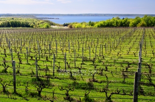 Photo: Traverse City area / Lake Michigan viewed over rows of a spring vineyard