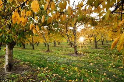 Photo: golden leaves, sunburst