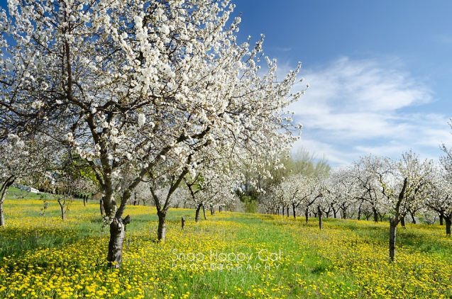 Photo: Cherry blossoms and dandelions in a Traverse City orchard