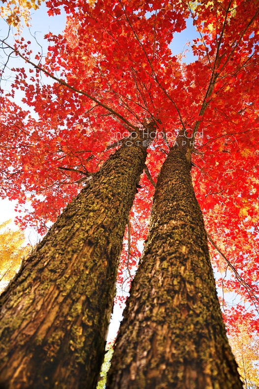 Photo: Upskirt shot of two red-leafed mapled trees