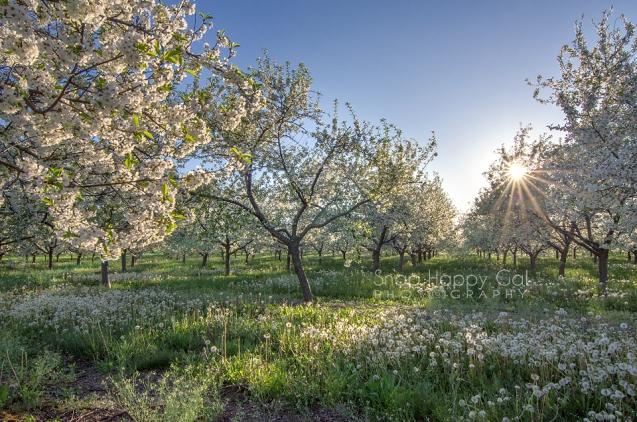 Photo: cherry blooms and dandelion seed heads under blue skies, sunburst