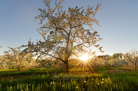 Photo: golden sunburst over Traverse City cherry orchard