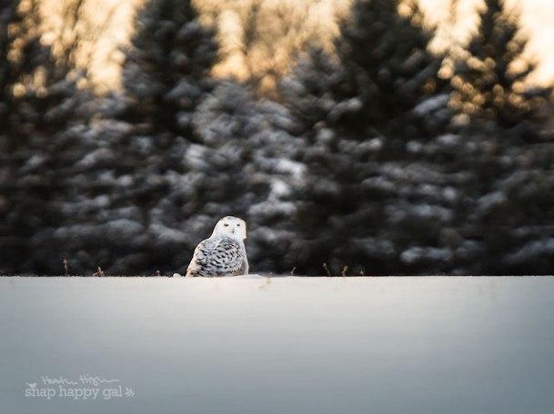 Snowy Owl afield