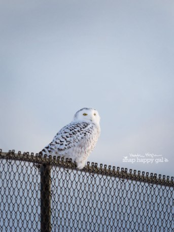 Snowy Owl on a fence