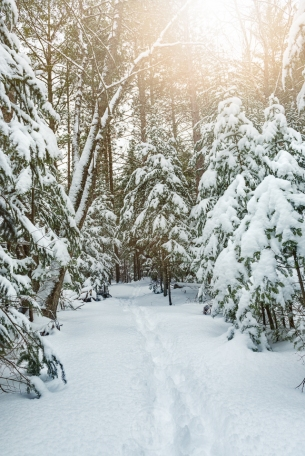 Fresh tracks in heavy snow under snowy, glowy pines