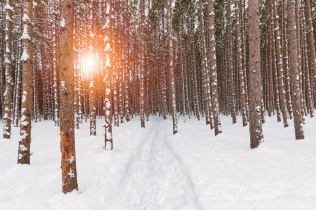 A snowy path emerges from dark rows of pines under the warm glow of the setting sun