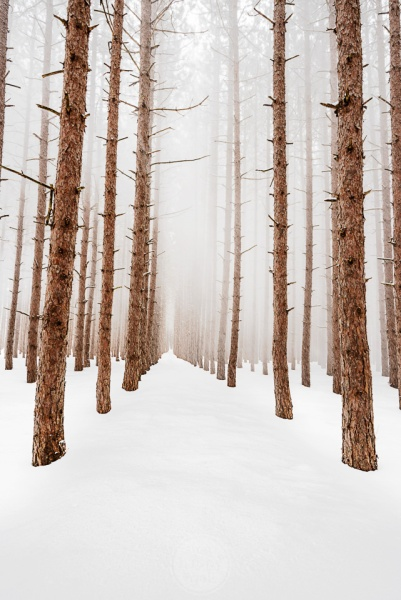 Ethereal Snowy Pines - Snow blows out of the canopy of endless rows of towering pine trees