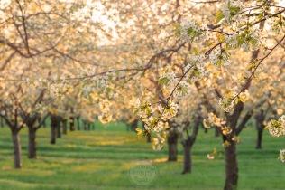 Leelanau cherry blossoms glow in golden evening light