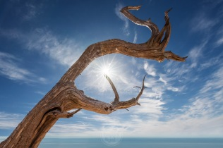 A sunburst gleams at the point of a ghost trees ancient branches, high above Lake Michigan in the Sleeping Bear Dunes